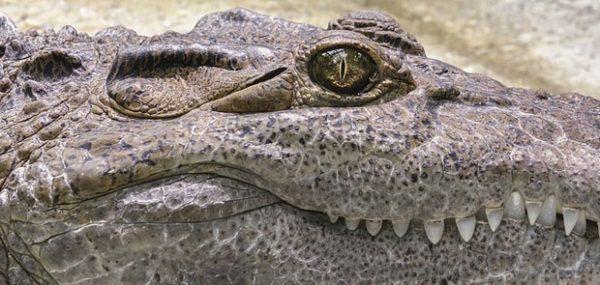 IZNENAĐENJE U RUSIJI: Specijalci tražili oružje, našli krokodila
