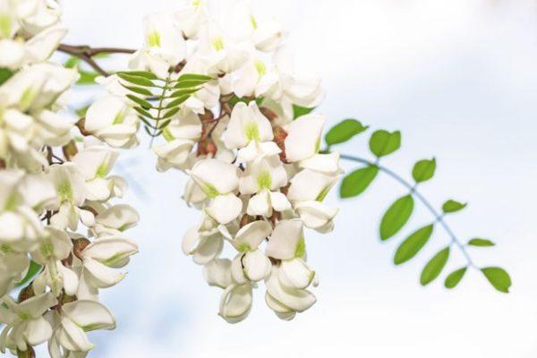 Bagremov cvet i hrani i leči